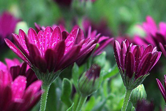 The Purple Beauties van Cornelis (Cees) Cornelissen