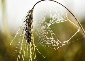 spinnenweb in ochtend dauw