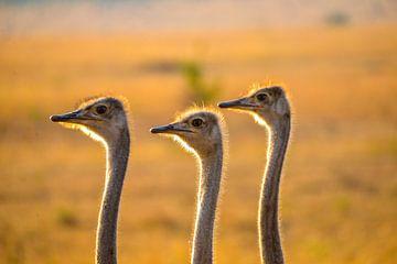 Strauße, Kenia von Jan Fritz