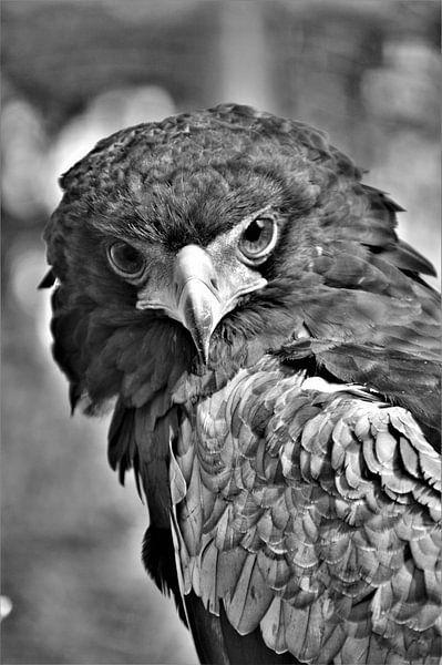 Roofvogel Zwart / Wit van DoDiLa Foto's