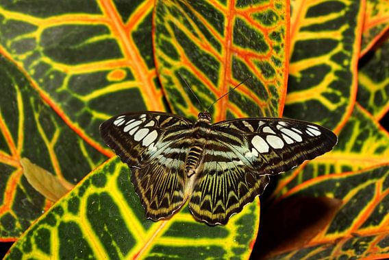 Weerschijn vlinder van Antwan Janssen
