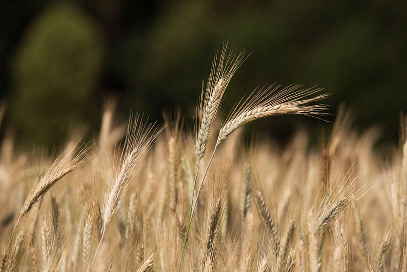 Getreidefeld von Rudolf Brandstätter