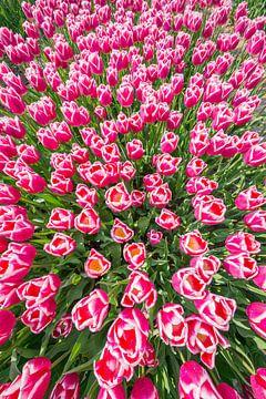 Tulpen an einem Sommertag ergeben eine brillante Farbkombination. von Peter de Jong
