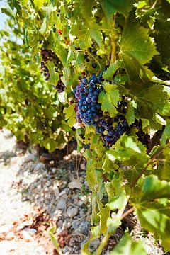Weinstock im Sommer von Nick van Dijk