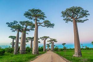 Allée des Baobabs van Cas van den Bomen