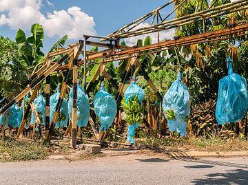 Los Amates: Bananenplantage van Maarten Verhees