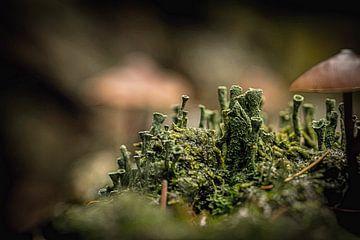 Bekermos (Cladonia) von Hans Soowijl