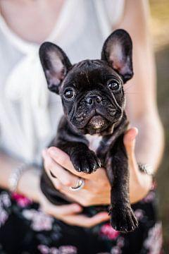 Französische Bulldogge Welpe in Händen von Lotte van Alderen