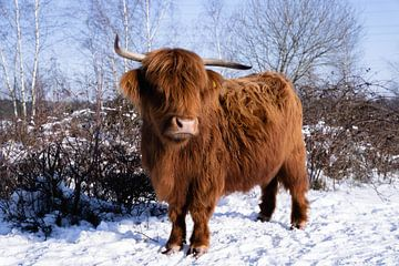 schottischer Highlander von Daphne Jonkers