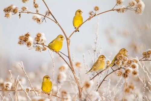 Vogels | Groenlingen in de sneeuw van