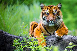 Sumatraanse Tijger (Panthera tigris sumatrae) van Ektor Tsolodimos