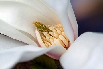 Magnolia 2 von José Verstegen