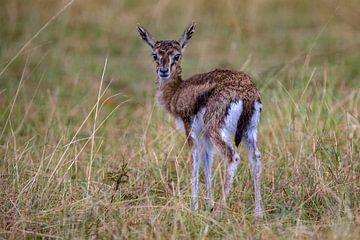 jonge Thompson's gazelle van Peter Michel