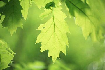 Fris groen loof aan de bomen in het voorjaar in het bos. Mooie lente kleuren ontspringen aan het beg van Bas Meelker