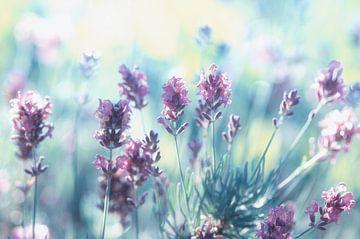 Rêves Lavender été sur