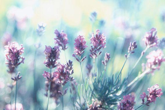 Lavendel dromen van de zomer van Tanja Riedel