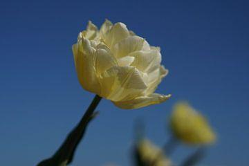 Weiße Tulpe von K Top