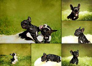 Collage Französische Bulldoggenwelpen