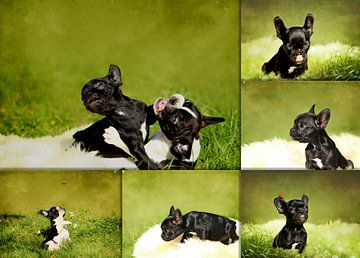Collage Französische Bulldoggenwelpen van Heike Hultsch