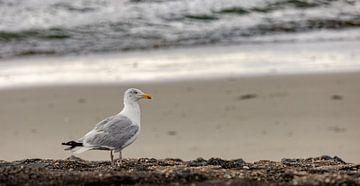 Möwe an der Küste von Percy's fotografie