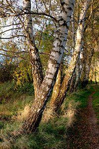 Herbstbirken van