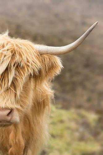 Portret van een Schotse Hooglander van
