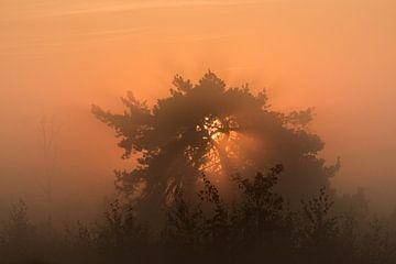 Un soleil levant derrière un pin. sur Ron Poot