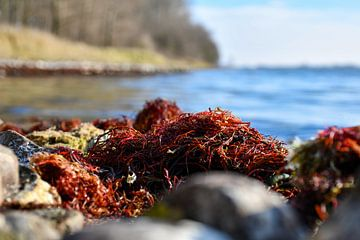 Rood zeewier aan het Veerse meer van bart hartman