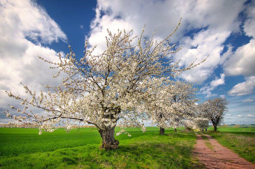 Cherry Tree van Steffen Gierok
