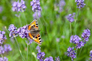 """Vlinder """"kleine Vos"""" in een Lavendelveld"""