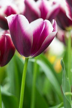 Donker paarse tulpen von Petra Brouwer