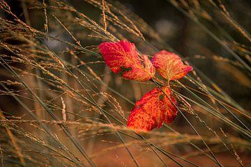 Herfstblad in hoog gras von Mayra Pama-Luiten