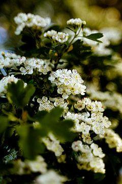 Weißblühender Baum in Blüte von Dieuwertje Van der Stoep