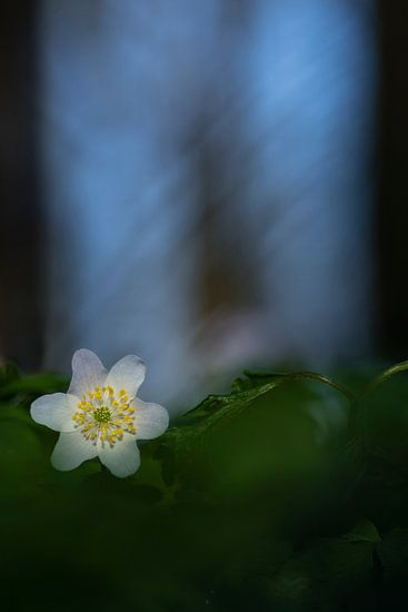 Bosanemoon (Anemone nemorosa) van Richard Guijt