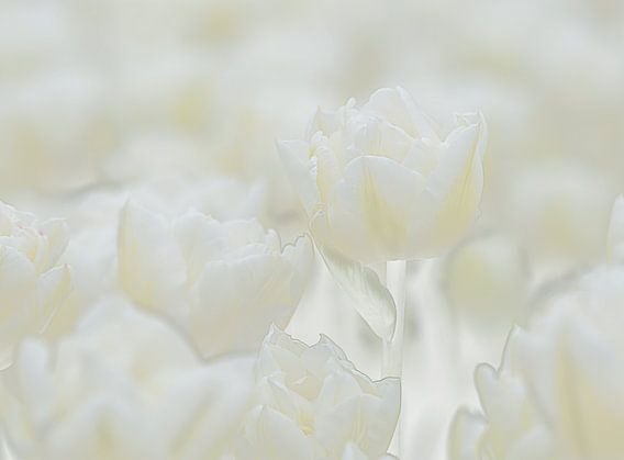 Tulpen van Sigrid Westerbaan