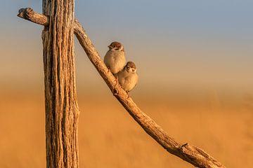 Ring Sparrows in morning light. sur Erwin Stevens