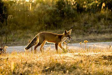 Fuchs im Gegenlicht von Ed Klungers