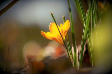 crocus jaune sur Tania Perneel