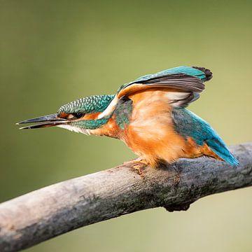 Ijsvogel met gestrekte vleugels sur Nico Leemkuil