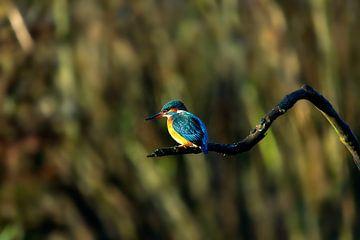 Ijsvogel aan het vissen van
