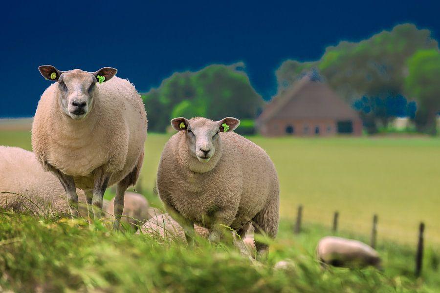Twee schapen op de Noorderleeg dijk in Friesland