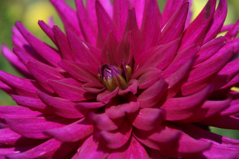 Roze dahlia van Geert Naessens
