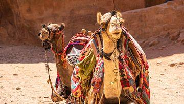 Kamelen in het oude Petra (Jordanië) van Jessica Lokker