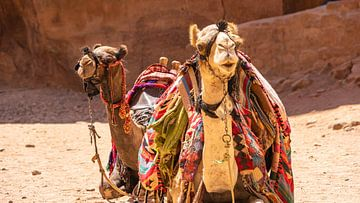 Kamele im antiken Petra (Jordanien) von Jessica Lokker