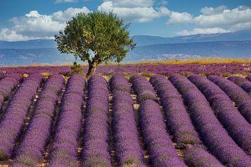 Lavendelveld in de Provence van Uwe Merkel