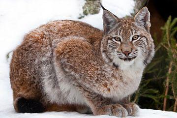 Lynx zit van dichtbij in de sneeuw, een mooie wilde kat. van Michael Semenov