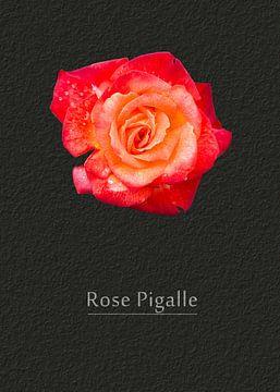 Rose Pigalle van Leopold Brix