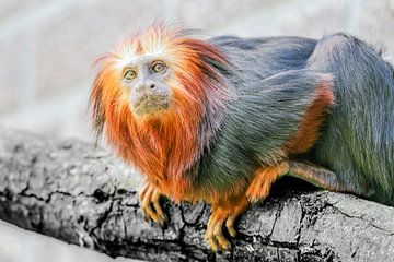 Tamarin aap op een tak van Eric de Kuijper