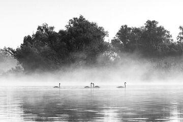 Zwanen in de mist in de Biesbosch in zwart-wit van Evelien Oerlemans