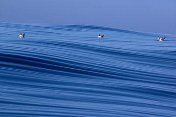 Three Sabine's Gulls (Xema sabini) von AGAMI Photo Agency